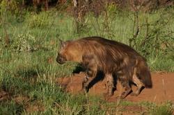 Brown Hyena Leaves.jpg