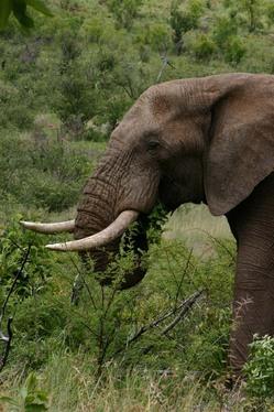 Bull Elephant Close-up.jpg