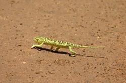 Chameleon Dance.jpg
