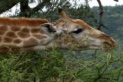 Giraffe Eating Thorn Tree.jpg