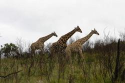 Giraffe on Edge of Hill 3.jpg