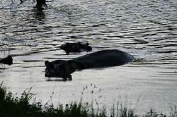 Hippo in Water.jpg