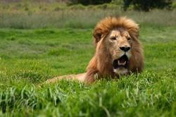 Lion with Fake Roar.jpg