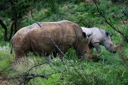 Mama Rhino and Child.jpg