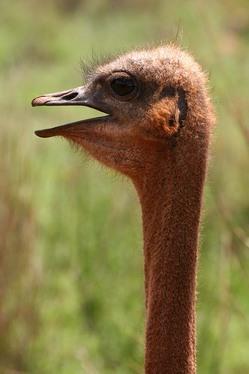 Ostrich Head and Neck.jpg