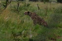Pilanesburg Cheetah 2.jpg
