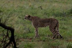 Pilanesburg Cheetah 3.jpg