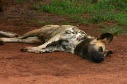 Sleeping Wild Dog.jpg