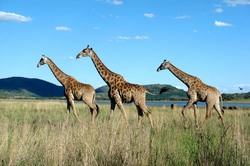 Three Giraffes by Lake.jpg