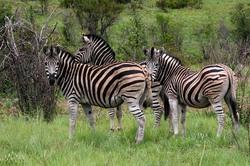 Three Zebra.jpg