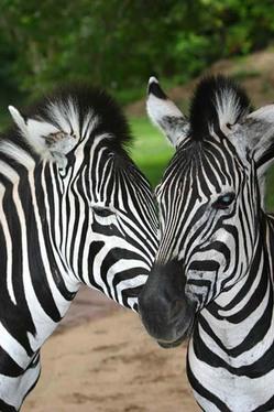 Two Zebra Heads.jpg