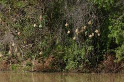 Weaverbird Nests.jpg